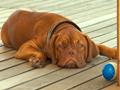 bordos dog