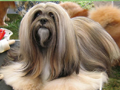 lhass apso