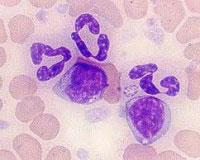 Ehrlichia canis - возбудитель моноцитарного эрлихиоза