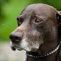 Капли уничтожают от 98,5% до 100% блох, клещей, комаров и кровососущих мух не давая им укусить собаку