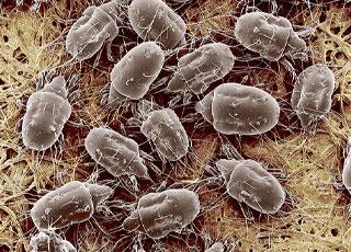 Чесоточный клещ паразитирует в глубоких слоях кожи. По размеру они микроскопичны и не видны невооруженным глазом!