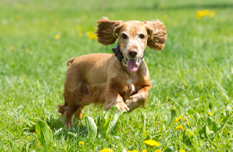 Во время и после прогулки осмотрите Вашу собаку на наличие присосавшихся клещей!
