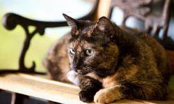 У кошек, страдающих когнитивной дисфункцией, может ухудшиться память, способность к обучению, зрительное и слуховое восприятие
