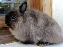 Карликовый ангорский кролик или русская ангора