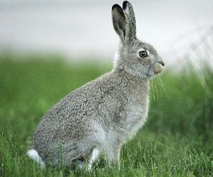 Единственный одомашненный вид - европейский кролик - стал родоначальником всех пород кроликов
