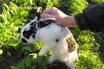 Кроликов надо осторожно поднимать за загривок: здесь кожа свободно отстает от тела, и это не причинит животному боли