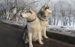 Избегайте прогулок с собакой около дорог
