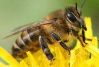 Укус жалящих насекомых способен вызвать анафилактический шок