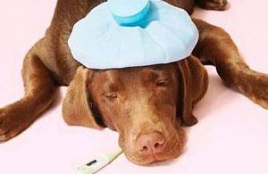 При признаках теплового или солнечного удара охладите животное!