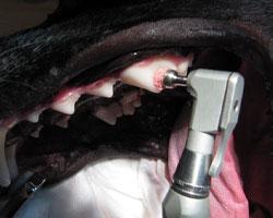 Снятие зубного камня у собаки ультразвуком